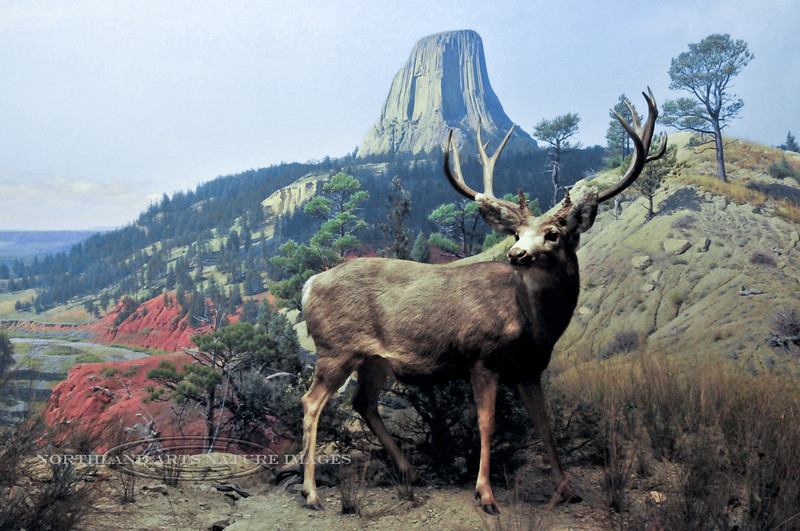 NY-AMNH2010.5.2#169.2. The Mule Deer diorama. A scene in front of the Devil's Tower Wyoming in the North American Hall of the American Museum of Natural History, New York, NY.