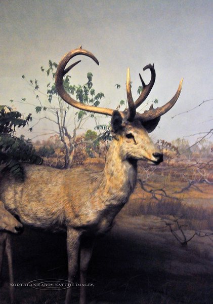 NY-AMNH2010.5.2#029.2. Eld's Deer Diorama. Native to Southeast Asia.