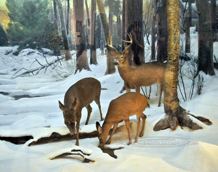NY-AMNH-2010.5.2#058.3. A winter scene diorama of Whitetail Deer in the North American Hall of the American Museum of Natural History. New York, NY.