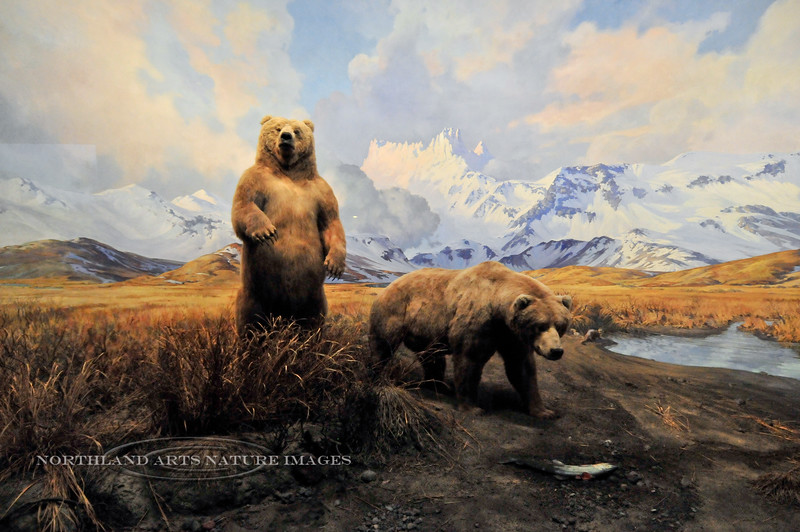 NY-Brown Bears in a Diorama at the Museum of Natural History NY, NY.<br /> Depicting them on the Alaska Peninsula next to a Salmon stream with the famed Aguileon Peaks behind them. #52.137. 1x2 ratio format.