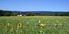 PA-2020.9.23#171.2. A farm field full of Common Sunflower. Columbia County, Pennsylvania.