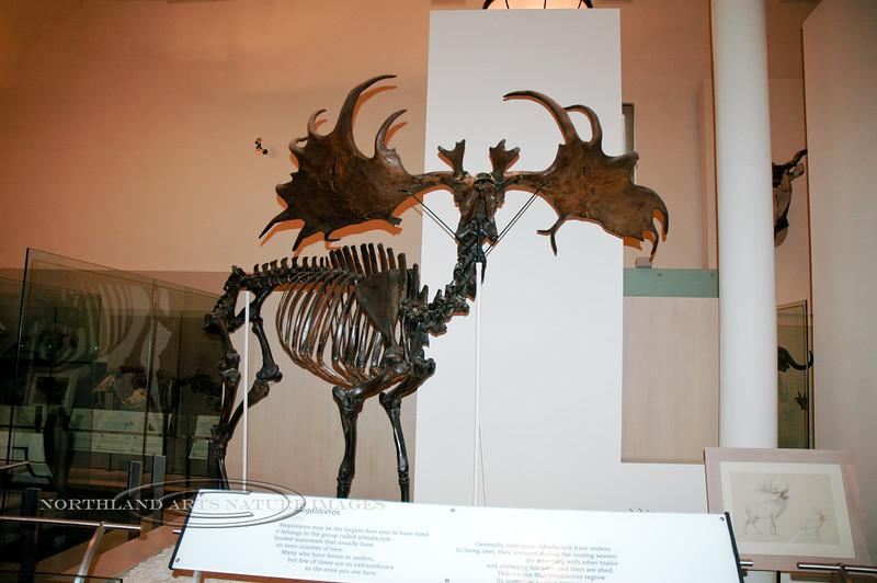 NY-AMNH-2006.4.14#0129.1x. An Irish Elk skeleton. American Museum of Natural History, New York, NY.