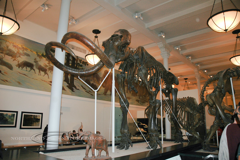 NY-AMNH-2006.4.14#0121.1x. A Wooly Mammoth skeleton in the Museum of Natural History. New York, NY.