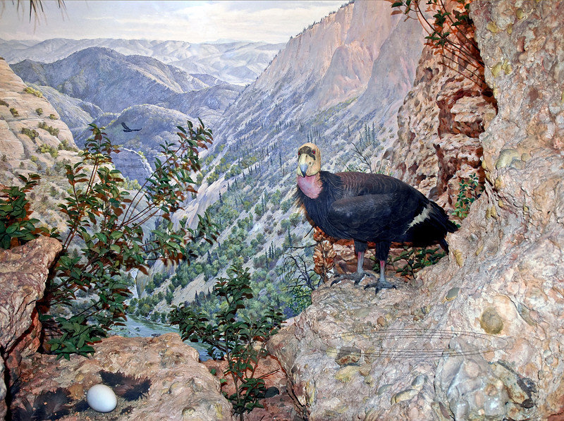 NY-AMNH-2006.4.14#0105.4. A beautiful diorama of the endangered California Condor. American Museum of Natural History, New York, NY.