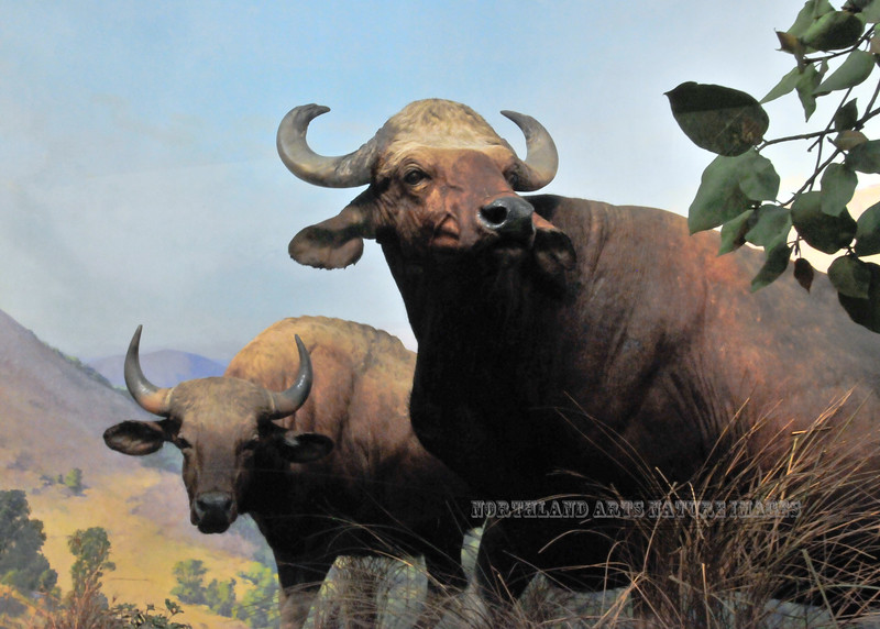 NY-AMNH2010.5.2#031.2. Diorama of Gaur from southeast Asia.