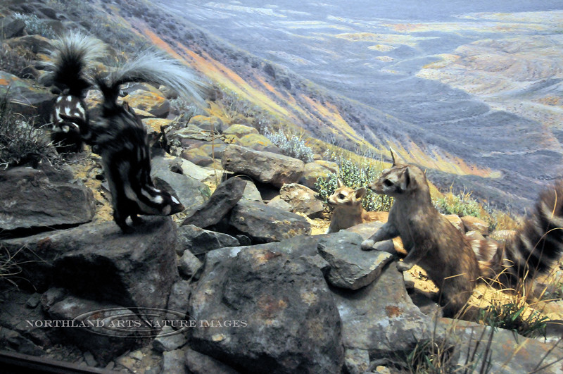 NY-AMNH2010.5.2#177.2. A pair of Ringtail Cats encountering a pair of Spotted Skunks in a diorama of the south west US. American Museum of Natural History, New York, NY.