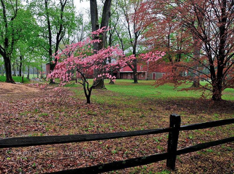 PA-ESF15-2008.4.27#039.5. Dogwoods are blooming on the grounds of the  residence and farm buildings of the Ralph Stover estate. Stover State Park, Bucks County, Pennsylvania.