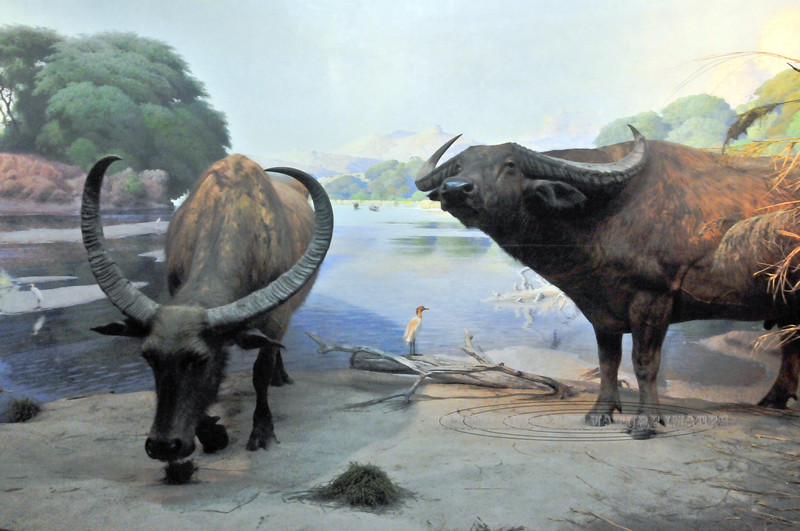 NY-AMNH2010.5.2#032.2. Water Buffalo in a Diorama from southeast Asia and Australia.