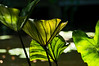 """D178-2012 Aquatic foliage plant, possibly a Colocasia (sometimes referred to as Elephant Ears).  See a framed version here:  <a href=""""http://smu.gs/NcflqV"""">http://smu.gs/NcflqV</a><br /> Growing in the Gazebo Pond<br /> An alternative view of this plant is here:  <a href=""""http://smu.gs/OcU4Lr"""">http://smu.gs/OcU4Lr</a><br /> <br /> Toledo Botanical Garden, Ohio<br /> June 27, 2012<br /> (nex5n)"""