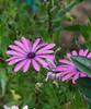 16 Flowers2daisies1481