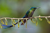 Long-tailed Sylph, Guango Lodge, Ecuador