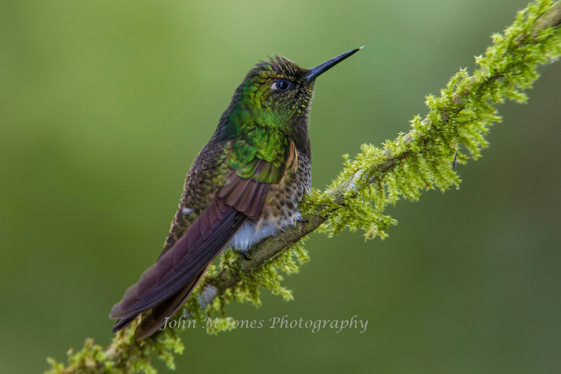 Buff-tailed Coronet, Guango Lodge, Ecuador