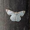 2015_moth_Sachatamia_Ecuador_CRW_3575