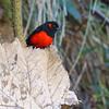 2015_scarlet-bellied mountain tanager_Yanachocha Preserve_western paramo_Ecuador_IMG_3915