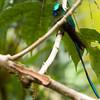 2015_long-tailed sylph_San Isidro_Ecuador_IMG_1586
