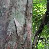 2015_ Ecuador_Napo River_giant forest moth_Sep 2015