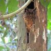 2015_ Ecuador_Napo River_ tawny screech owl_Sep 2015