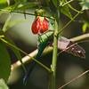 2015_ long-tailed sylph nectar-robbing_San Isidro_Ecuador_IMG_1808