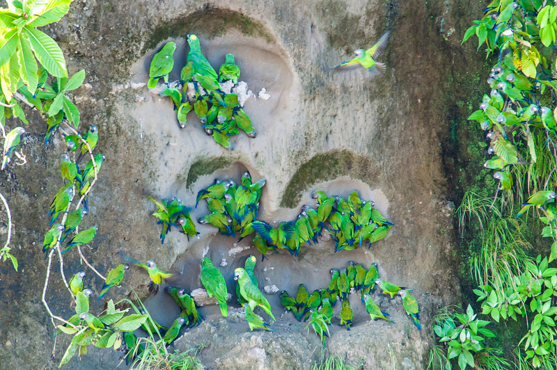 Cobalt-winged parakeets, Yellow-crowned Amazons