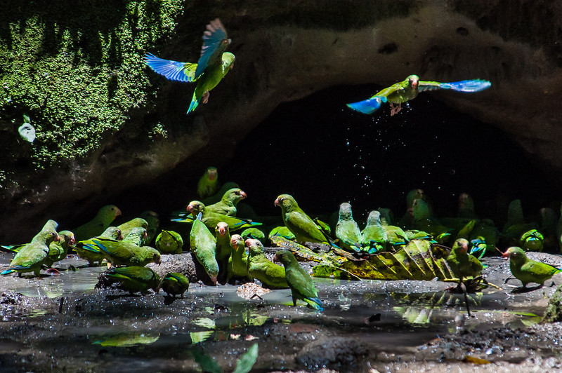 Cobalt-winged parakeets at claylick