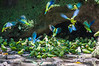 Cobalt-winged parakeets
