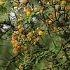 Acacia flowering GNP
