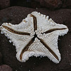 bleached starfish on Rabida