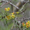 Parkinsonia flowers and fruits on Floreana