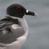 swallowtail gull headshot espanola cliff