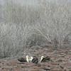 waved albatross espanola