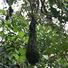 oropendula nest
