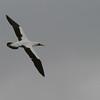 nazca booby flying espanola