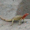 lava lizard espanola