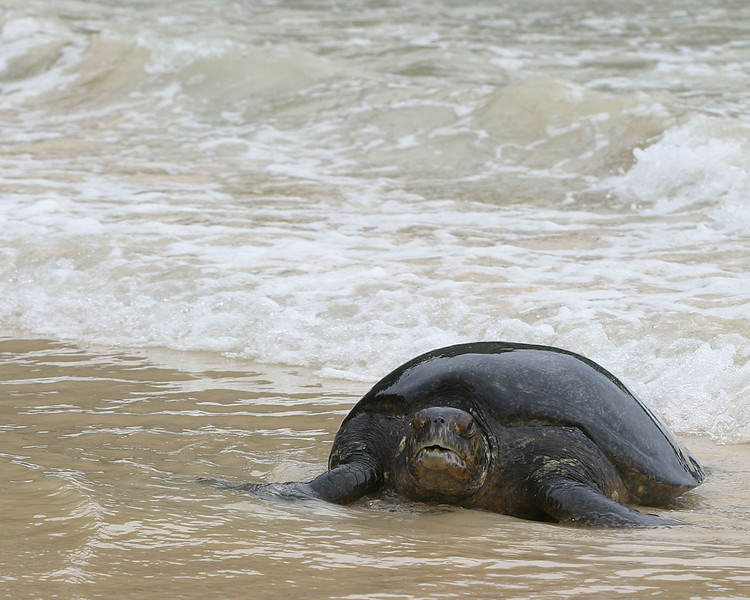 green turtle coming ashore