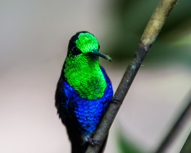 Violet-bellied Hummingbird(?)