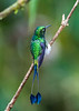 This is a Booted Racket-tail