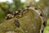Imantodes cenchoa<br /> Imantodes cenchoa is a delicate vine snake that is typically found hiding with branches .