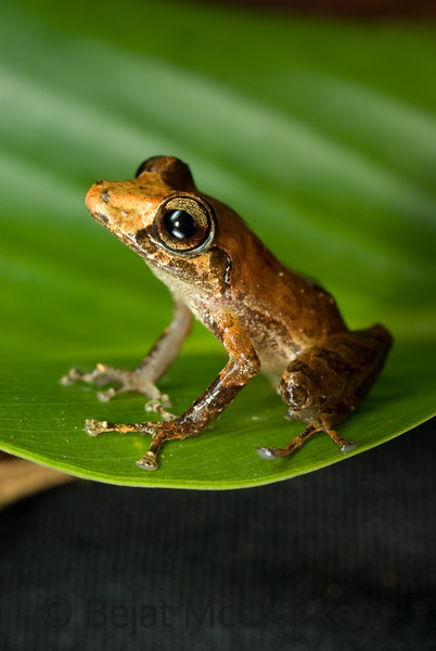Pristimantis martiae<br /> Pristimantis martiae caught on a night hike was brought back to the lab at the Yasuni Research Station, Ecuador.  Working with the TADPOLE Organization I photograph all species of herpetofauna, specializing in amphibians.