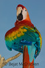 Scarlet Macaw, Ara macao<br /> In an oil town that was once lush rain forest, the resident Scalet Macaw, Ara macao, screams loudly on the streets of Coca, Ecuador.