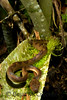 Leptodeira annulata<br /> Leptodeira annulata is typically found on low-lying vegetation.  However, scientist Shawn McCracken found this specimen high up in the canopy residing in a a bromeliad.