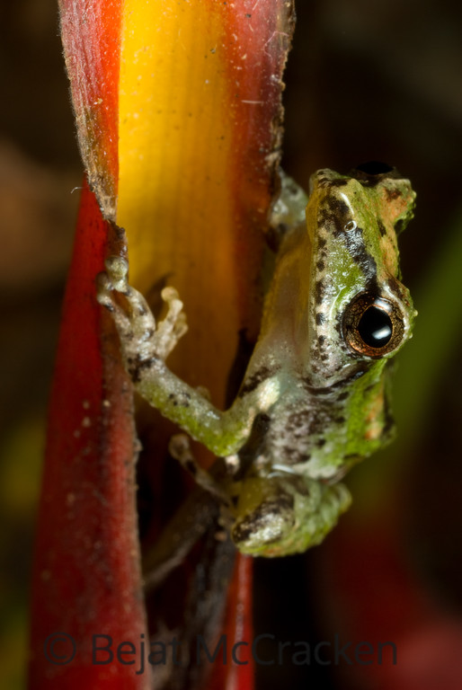 Pristimantis paululus<br /> Pristimantis paululus moves around the Heliconia swamp in the Ecuadorian Amazon.