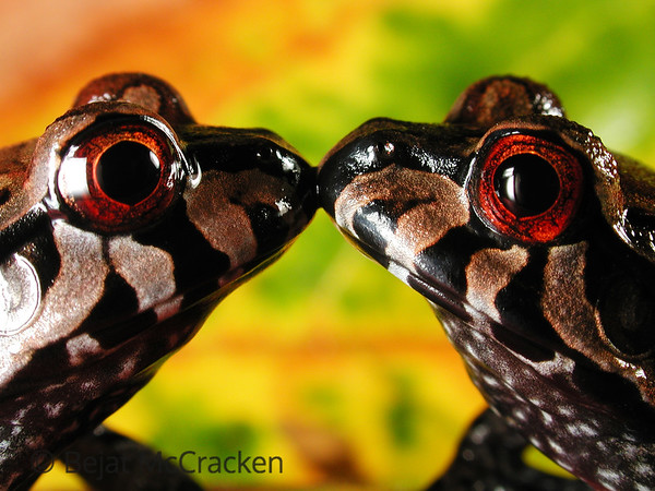 Kissing Smokey Junge Frogs, Leptodactylus pentadactulus These juvenile  Smokey jungle frogs,  Leptodactylus pentadactulus, took me hours to capture as I repeatedly placed them as mirror images, kissing.  Encountered along a rain forest stream in the Ecuadorian Amazon.