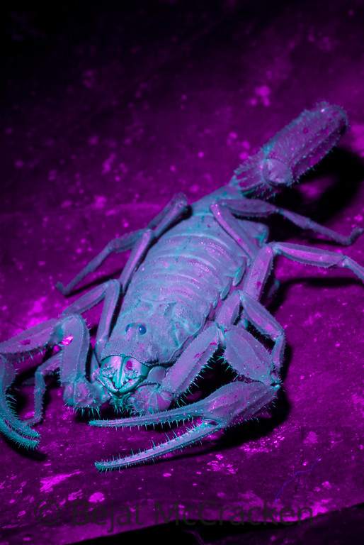 Glowing Scorpion<br /> Shot with a black light and a 20 second exposure at the Tiputini Biodiversity Station lab facility, Ecuador.