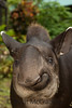 Omaka, Tapirus terrestris<br /> Omaka is a Lowland Tapir, Tapirus terrestris, whose mother was killed by the indigenous, Waorani.  Left as a young juvenile at the Yasuni Research Station in the Ecuadorian Amazon, she roams free, protected by superstition.