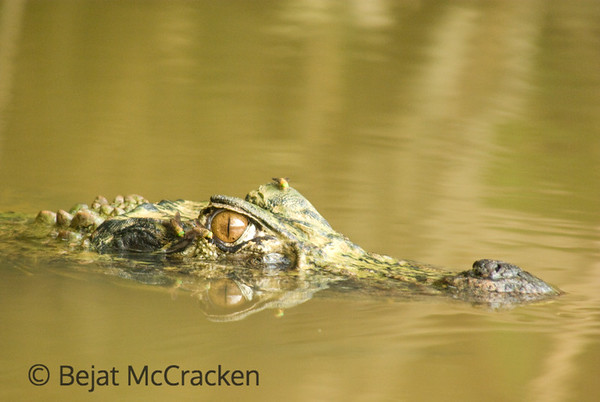 Black Caiman, Melanosuchus niger<br /> I followed this 12' Black Caiman, Melanosuchus niger, around a lake in a dug out canoe, while in the Ecuadorian Amazon.