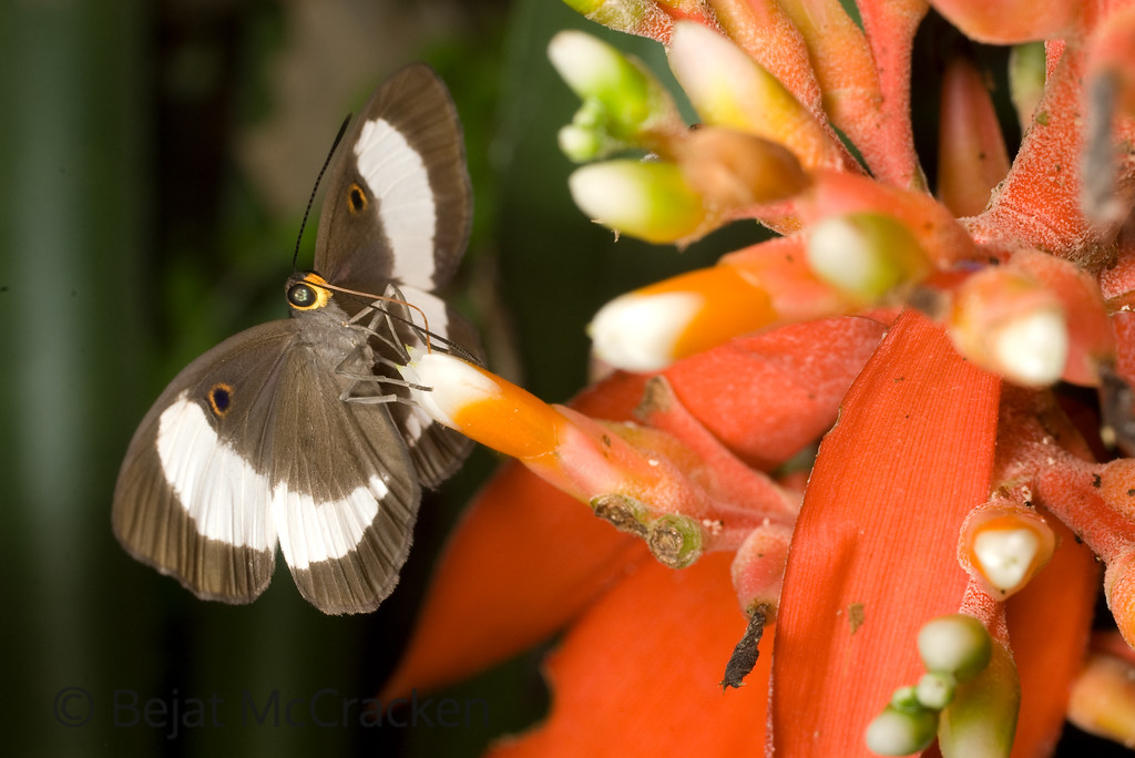 Sharing Life<br /> Capturing the act of pollination, this unidentified butterfly and bromeliad benefit in the Ecuadorian Amazon.