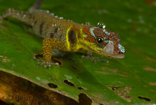 After the Rain, Gonatodes humeralis<br /> Gonatodes humeralis laps up rain droplets and drinks from surrounding leaves after a light rain in the Ecuadorian Amazon.