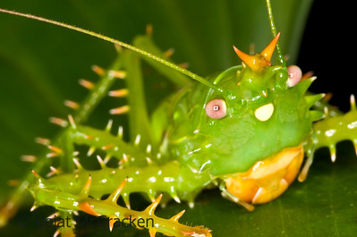El Rey de la Selva, Panacanthus cuspidatus Crowned like a king, the spike-headed katydid, Panacanthus cuspidatus, is remarkably spiney.  Found in the Ecuadorian Amazon rain forest while hiking at night.
