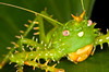 El Rey de la Selva, Panacanthus cuspidatus<br /> Crowned like a king, the spike-headed katydid, Panacanthus cuspidatus, is remarkably spiney.  Found in the Ecuadorian Amazon rain forest while hiking at night.