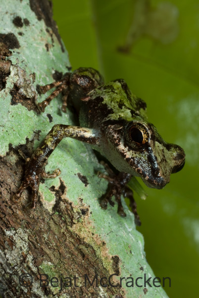 Pristimantis orphnolaimus<br /> Easily disguised in moss and lichen, Pristimantis orphnolaimus is found in the lush sub-canopy of the Ecuadorian Amazon.